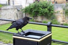 Corvo na torre de Londres no balde do lixo fotografia de stock