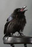 Corvo nero Fotografia Stock Libera da Diritti