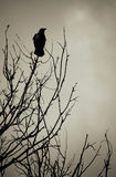 Corvo nero Fotografia Stock