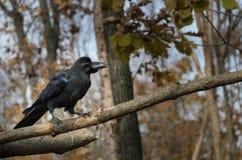 Corvo nero che si siede sul ramo di albero fotografie stock