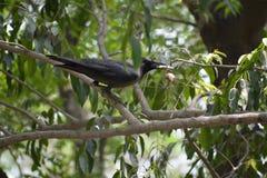 Corvo nero con alimento in suo becco fotografia stock
