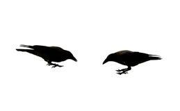 Corvo nero due immagini stock