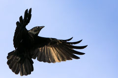 Corvo nero durante il volo con le ali spante Immagine Stock