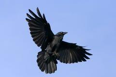 Corvo nero durante il volo con le ali spante immagine stock libera da diritti