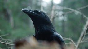 Corvo nero in natura selvaggia Animali selvatici in habitat naturale Abitante messo le piume a video d archivio