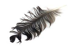 Corvo nero sgualcito della piuma Fotografia Stock Libera da Diritti