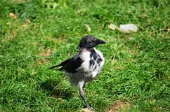 corvo nero sicuro Fotografia Stock