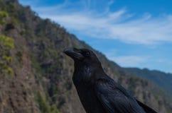 Corvo no La Palma Island, imagem da distância muito próxima Imagem de Stock Royalty Free