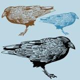 Corvo nordamericano illustrazione vettoriale