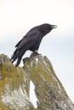 Corvo nordoccidentale (caurinus di corvo) Immagine Stock