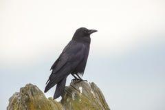 Corvo nordoccidentale (caurinus di corvo) Immagini Stock Libere da Diritti