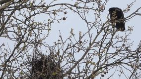 Corvo nos ninhos na árvore video estoque