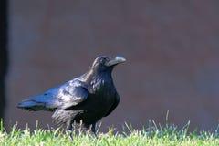 Corvo o Raven? fotografie stock libere da diritti