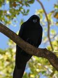 Corvo preto americano que olha para baixo do ramo de árvore Fotos de Stock Royalty Free