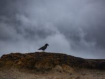 Corvo preto em Burm de uma praia fotografia de stock