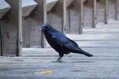 Corvo preto em Yosemite Califórnia Fotos de Stock