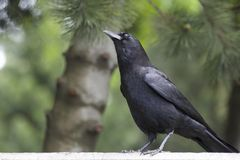 Corvo preto majestoso do pássaro em um ambiente borrado Fotos de Stock