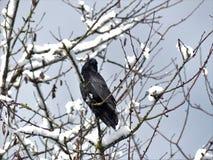Corvo preto na árvore da tampa de neve foto de stock