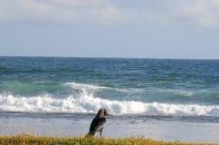 Corvo preto na costa do oceano fotos de stock royalty free