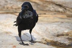 Corvo preto que está no terreno rochoso Fotografia de Stock