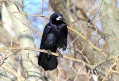 Corvo preto que senta-se em um ramo Imagens de Stock