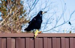 Corvo preto que senta-se na cerca imagens de stock royalty free