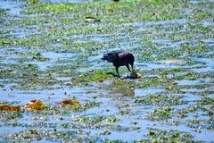 Corvo que alimenta em um caranguejo na maré baixa na ilha Eagle Harbor de Bainbridge Fotos de Stock Royalty Free