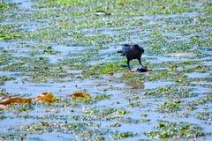 Corvo que come um caranguejo durante a maré baixa na ilha Eagle Harbor de Bainbridge Fotos de Stock