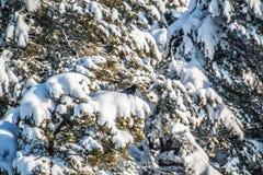 Corvo que senta-se em um ramo de uma árvore coberto de neve imagens de stock royalty free