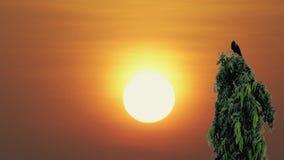 Corvo que senta-se em uma árvore com fundo do por do sol vídeos de arquivo