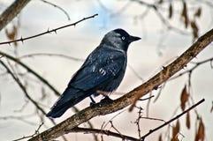 Corvo selvaggio dell'uccello Fotografie Stock