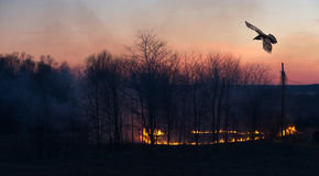 Corvo sopra il fuoco dell'erba al tramonto. Fotografia Stock