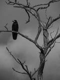 Corvo su un albero Fotografia Stock Libera da Diritti
