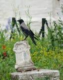 Corvo su una vecchia tomba Immagini Stock Libere da Diritti