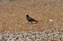 Corvo sulla spiaggia Fotografia Stock Libera da Diritti