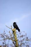 Corvo in un albero Fotografie Stock