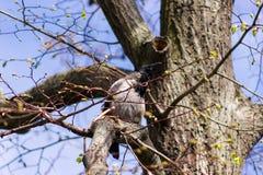 Corvo velho na árvore Fotos de Stock