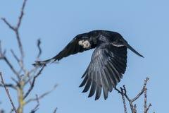 Corvo volante con le ali stese ed il materiale per il nido in suo becco fotografia stock libera da diritti