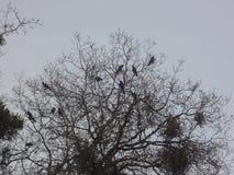 corvos fotografia de stock