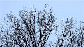 Corvos, corvo, encontrando-se em uma árvore vídeos de arquivo