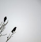 Corvos do inverno fotografia de stock royalty free