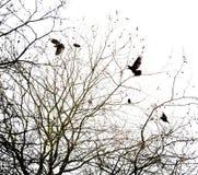 Corvos e árvore Fotografia de Stock