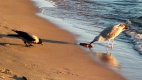 Corvos e gaivota Parte 4 video estoque