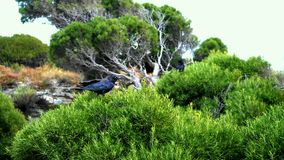 Corvos em Rottnest pelos lagos de sal Foto de Stock