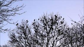 Corvos na árvore vídeos de arquivo