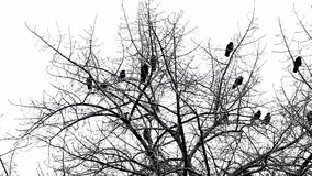 Corvos na árvore video estoque