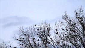 Corvos na árvore na natureza filme
