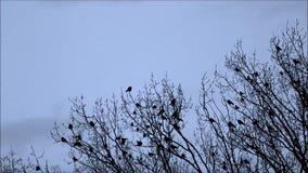 Corvos na árvore, natureza, equipe, reunião, video estoque