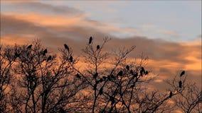 Corvos na árvore no crepúsculo vídeos de arquivo