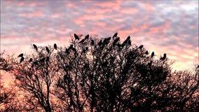 Corvos na árvore no crepúsculo que voa afastado video estoque